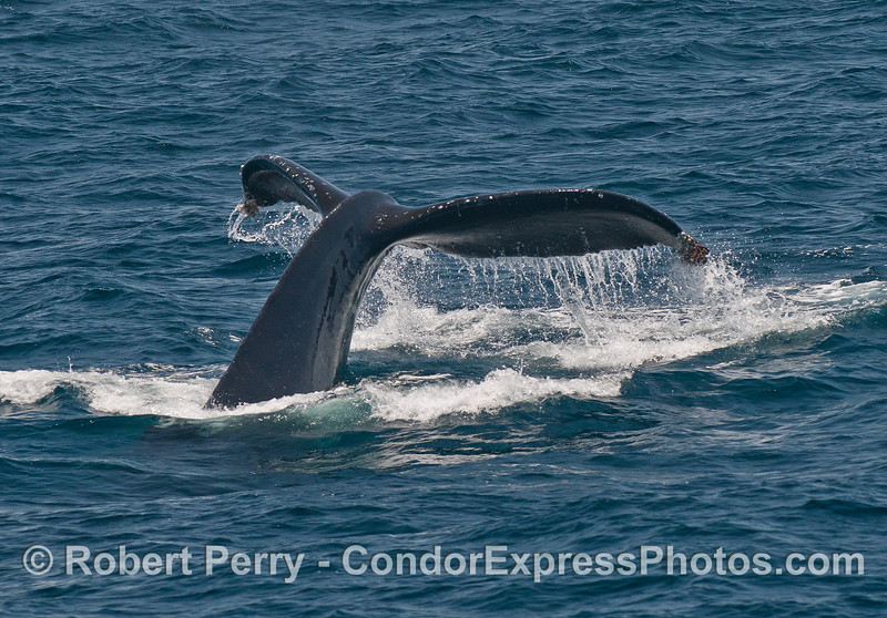 Tail flukes waterfall - a humpback whale sounds