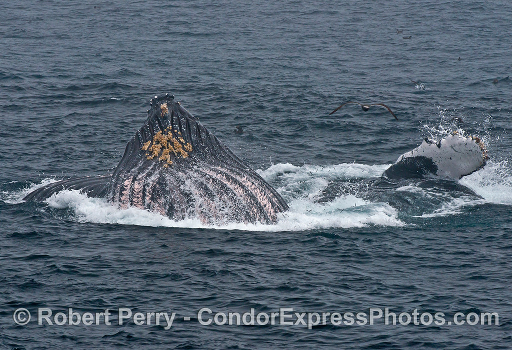 A huge, full gular pouch and a second whale on its side.