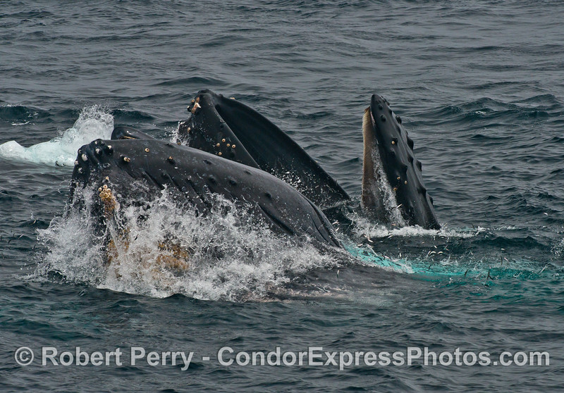 A closer look at two surface lunge feeding humpback whales, mouths open with anchovies jumping.  The baleen of the back animal is clearly visible in the roof of the mouth.
