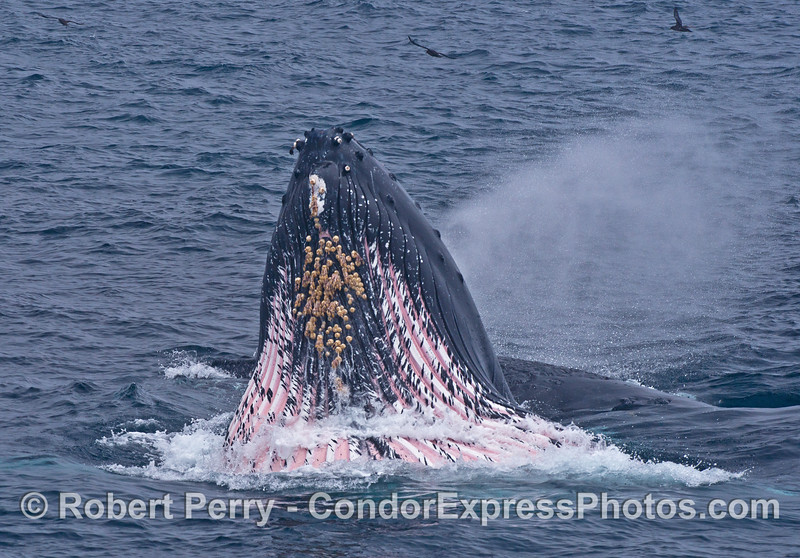 """The expanded ventral groove blubber, white and pink stripes, mark the gular pouch or """"chin"""" area of this surface lunge feeding humpback whale.  The whale is also spouting and sending a diagonal stream of spray to the right."""