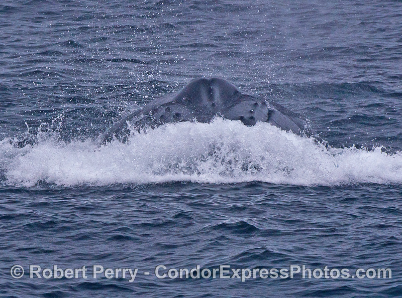 """A """"bow wave"""" and the head of a humpback whale headed directly at the camera."""
