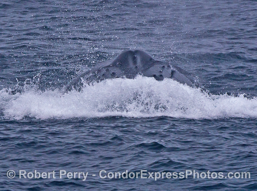 "A ""bow wave"" and the head of a humpback whale headed directly at the camera."