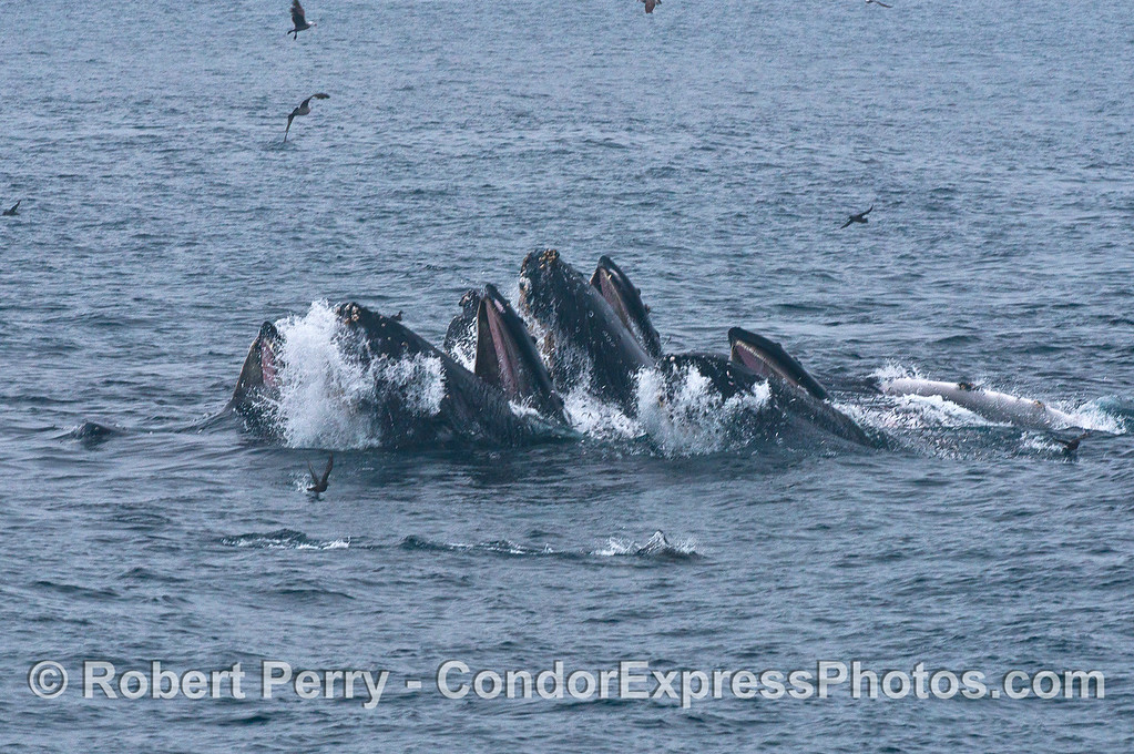 Synchronized swimming at the humpback whale olympics.   As individual whales came and left the feeding spot, it was fascinating how fast the group coalesced into a single feeding entity.