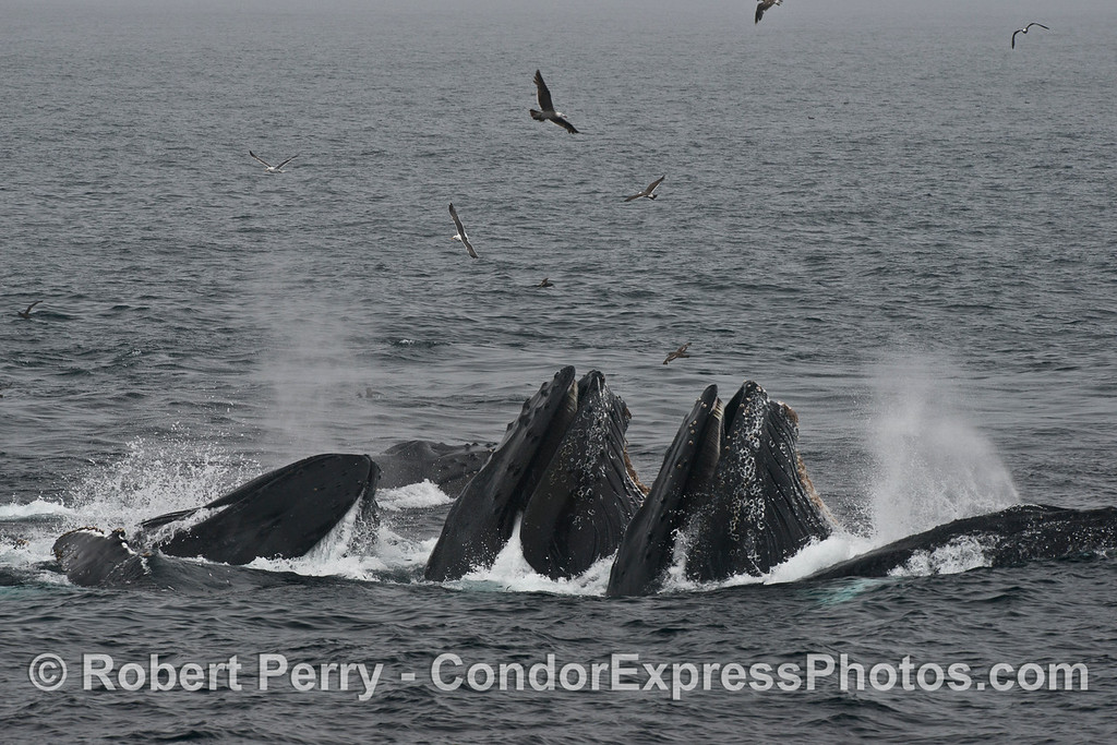 "An overcast sky with patches of dense fog create an almost ""black and white"" study of at least six surface lunge feeding humpback whales cooperatively feeding on anchovies."
