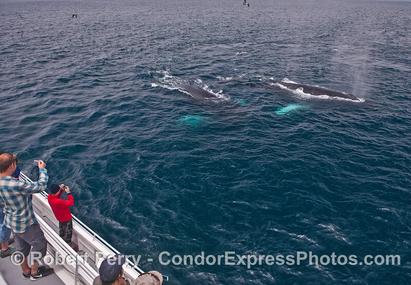 """Whitey-pects""    Between surface lunges, a friendly visit to the fan club by two white-pectoral humpbacks."