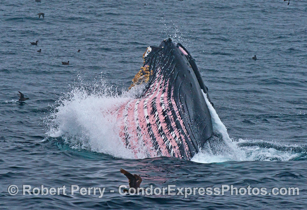 A giant humpback whale breaks the surface with water being ejected from the mouth.  The enlarged gular pouch is characterized by the striking pink, white and black colors.