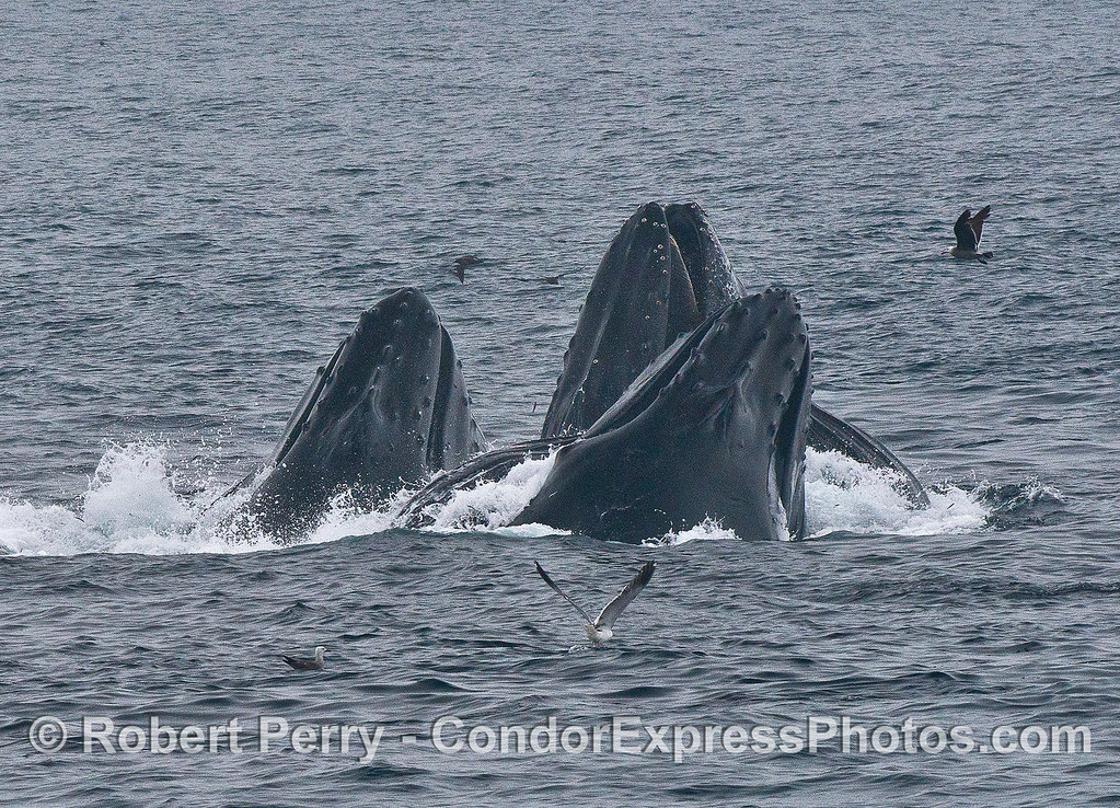 Dorsal view - three surface lunge feeding humpback whales.