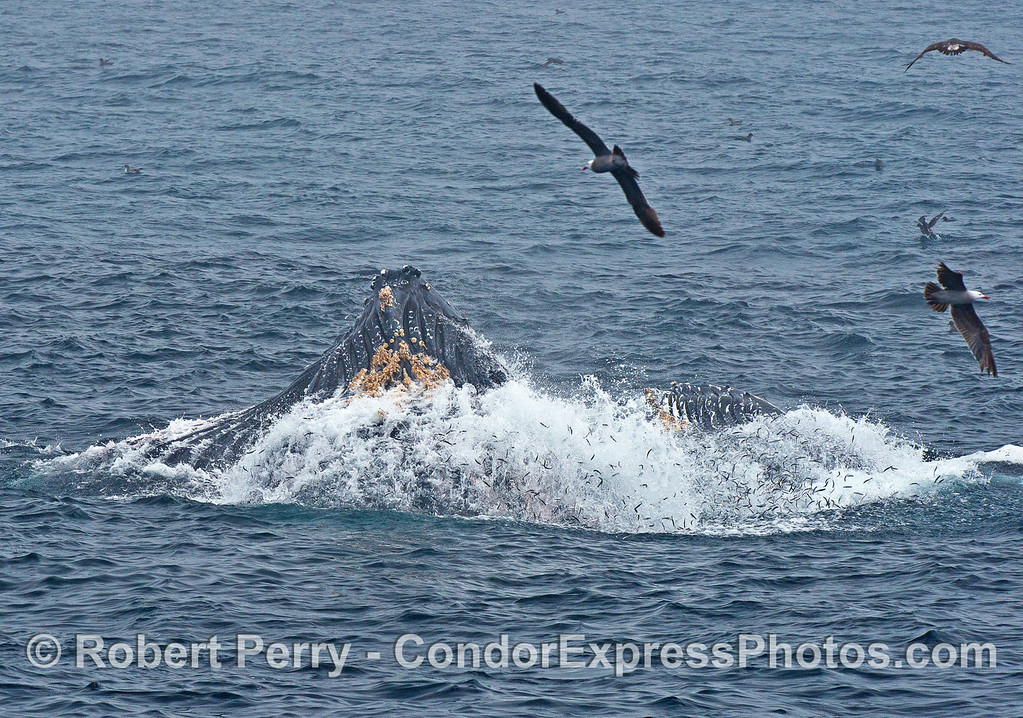 Multitudes of tiny anchovies, each about 6 inches long, can be seen having escaped the giant mouths of these two surface lunge feeding humpback whales.
