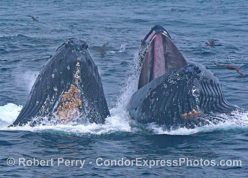 A duo of surface lunge feeding humpback whales in the fog.
