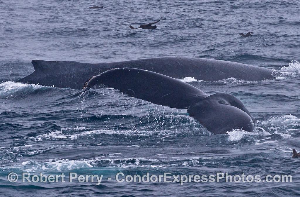 Two humpbacks