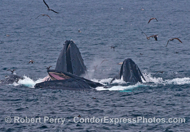 We see surface lunge feeding humpback whales, one with its mouth open.  The inside of the mouth shows the upper jaw, pink soft palate, and tan baleen surrounding the rim.