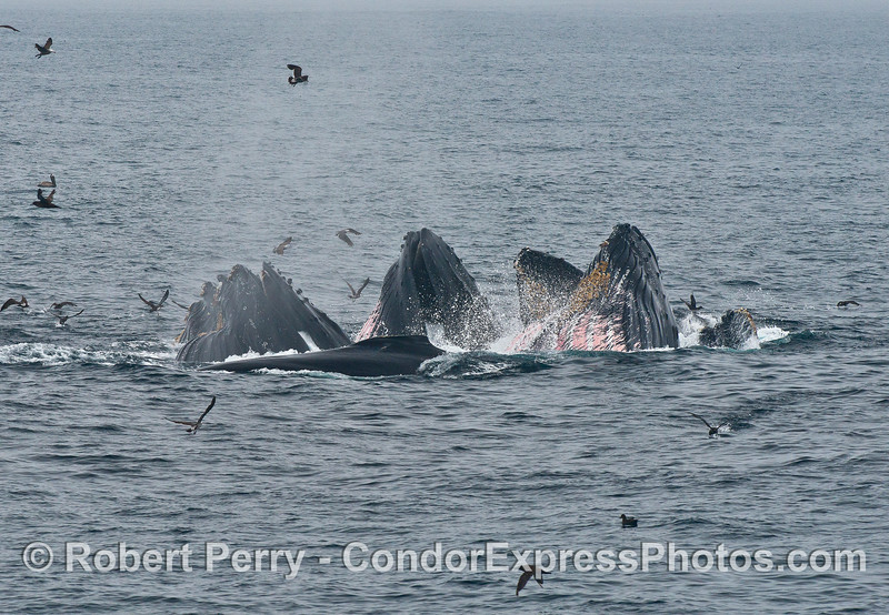 Are there seven whales in this feeding cluster?