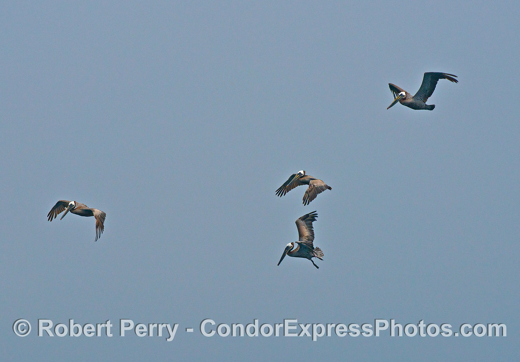 Brown pelicans captured mid air.
