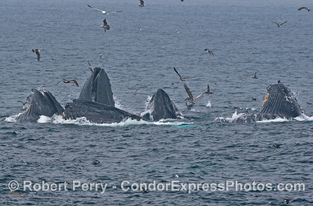 Five humpback whales are captured surface lunge feeding in a cooperative group.   Bown pelicans, sooty shearwaters and Heermann's gulls are also abundant.