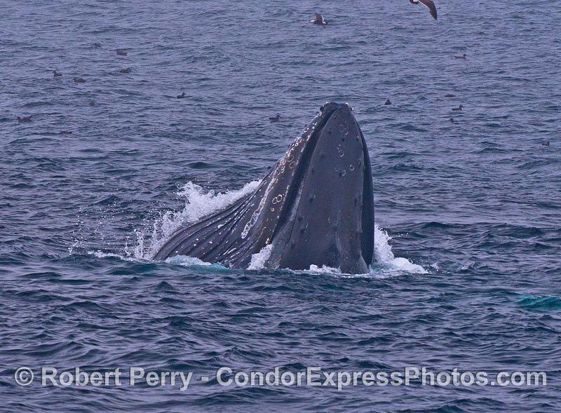 Dorsal view of a humpback whale with a full gular pouch.