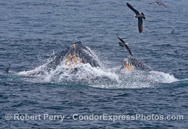 Heermann's gulls circle around two surface lunge feeding humpback whales.  We are looking at the ventral (belly) side of the whales and thousands of anchovies can be seen leaping out of the water.