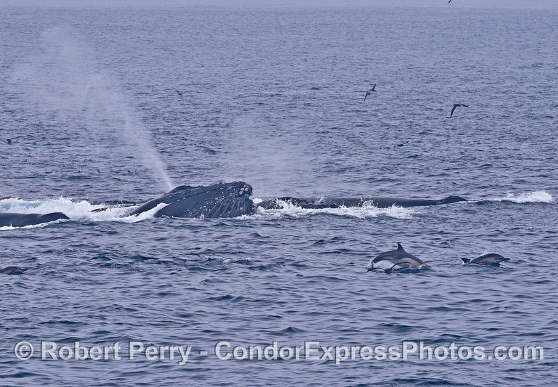 Common dolphins leap as a humpback sends up a very tall spout.