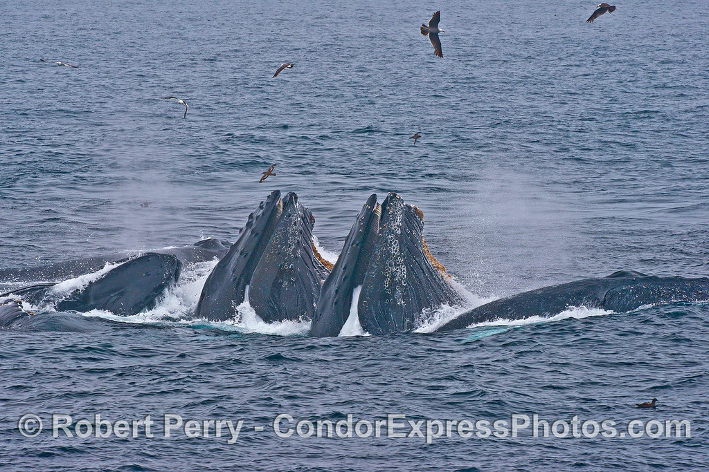 Profiles of surface lunge feeding humpback whales.