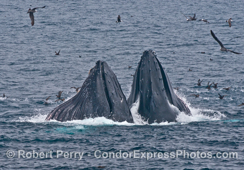 Two surface lunge feeding humpback whales with mouths closed and water being ejected.  Sooty shearwaters scoot along the surface.