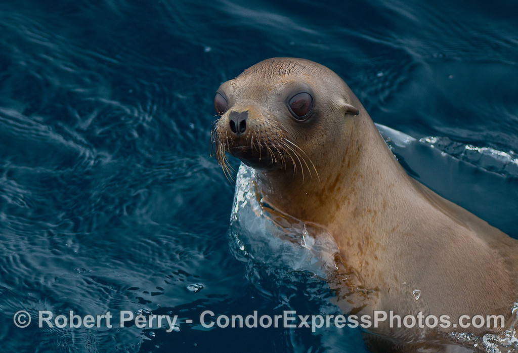 Portrait of a California sea lion pup.