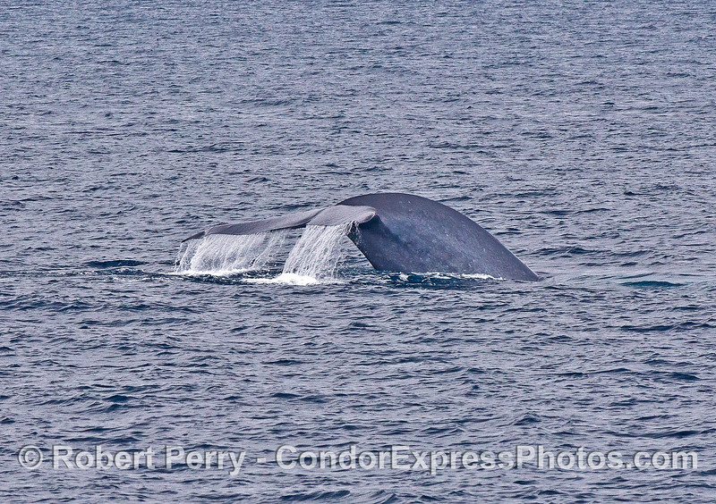 """This giant blue whale has been seen up and down the coast for years.  It's a female nicknamed """"Kinko"""" due to the """"kink"""" in her left tail fluke."""