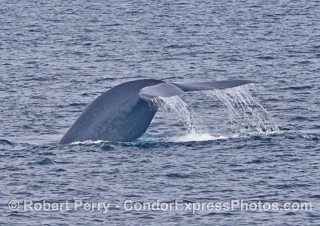 Tail flukes waterfall - Kinko the blue whale.
