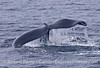 Image 1 of 2:   Two humpback whales were seen paired up.  One had a deformity on its tail fluke's right side, one on the left side.  Bookends.