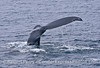 Image 2 of 2:   Two humpback whales were seen paired up.  One had a deformity on its tail fluke's right side, one on the left side.  Bookends.