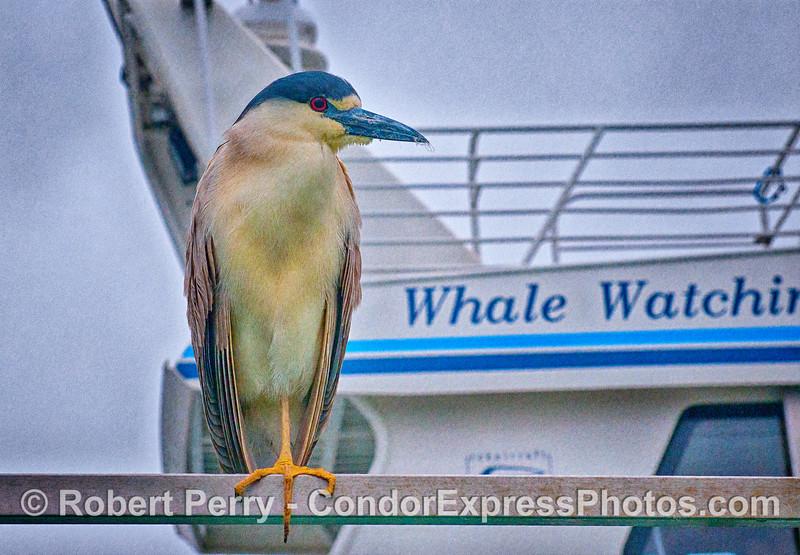 "Image 2 of 2:    ""Pete"" the black-crowned night  heron."