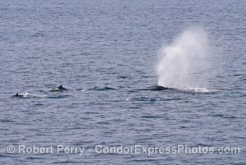 A humpback whale follows long-beaked common dolphins.