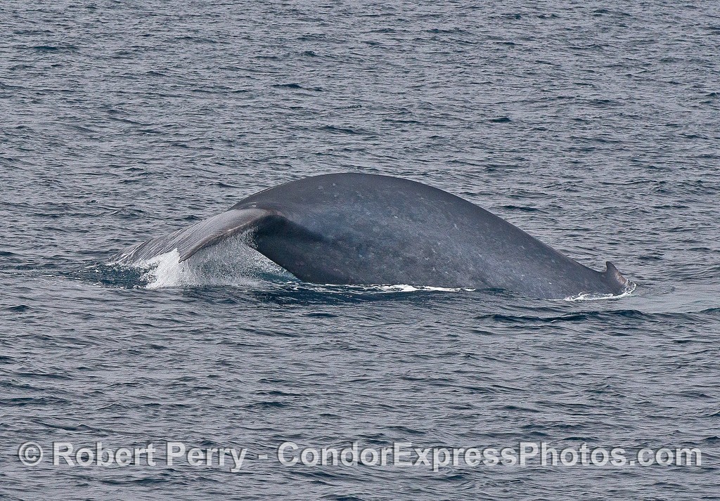 Giant blue whale  - thick tail stock and tail flukes shown when sounding.