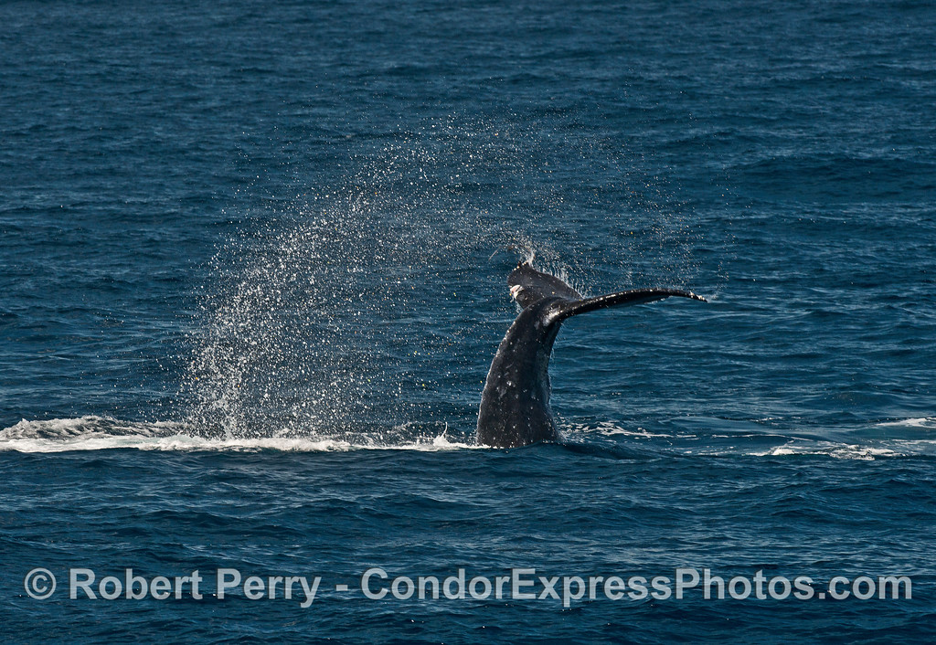 A humpback whale calf throws its tail.