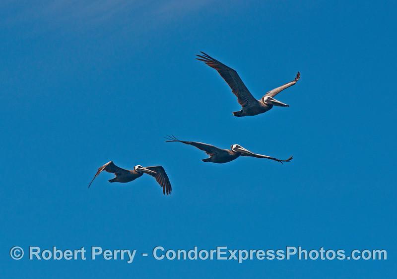 Los tres pelicanos