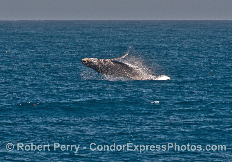Humpback whale - breaching.