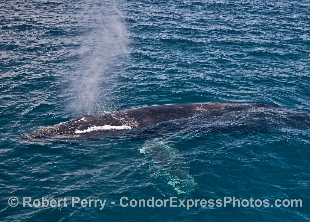 A whole body view of a spouting humpback whale