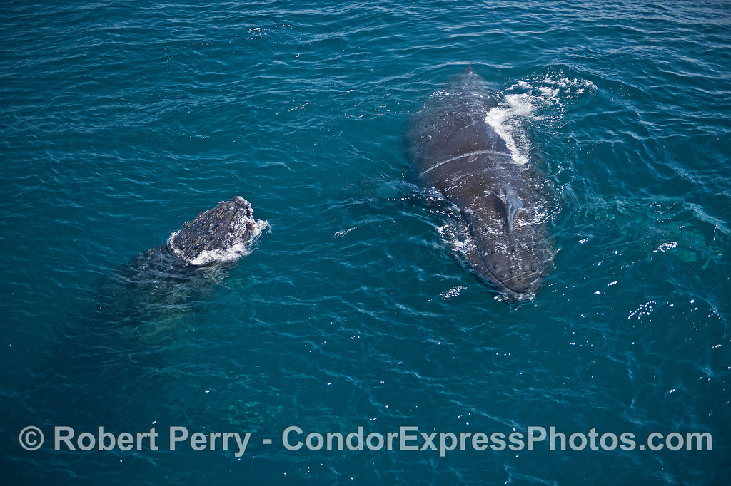Two humpback whales interact in blue water