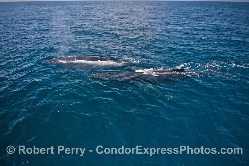 A pair of humpback whales.   Rope is in the lead.