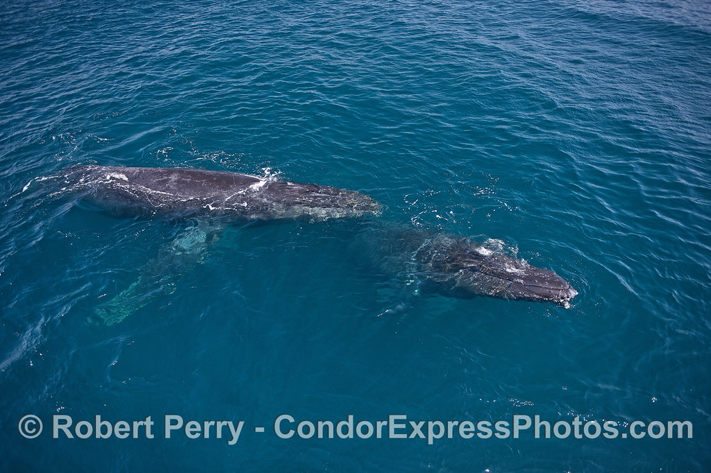 Clear blue water and two friendly humpback whales - on a bright sunny day!