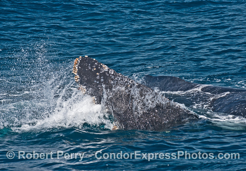Humpback splashing water on its back