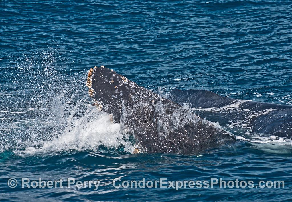 Humpback splashing water on its back
