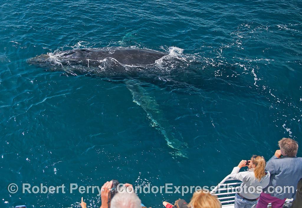 Megaptera novaeangliae mugs boat CLOSE 2015 06-30 SB Channel-a-644