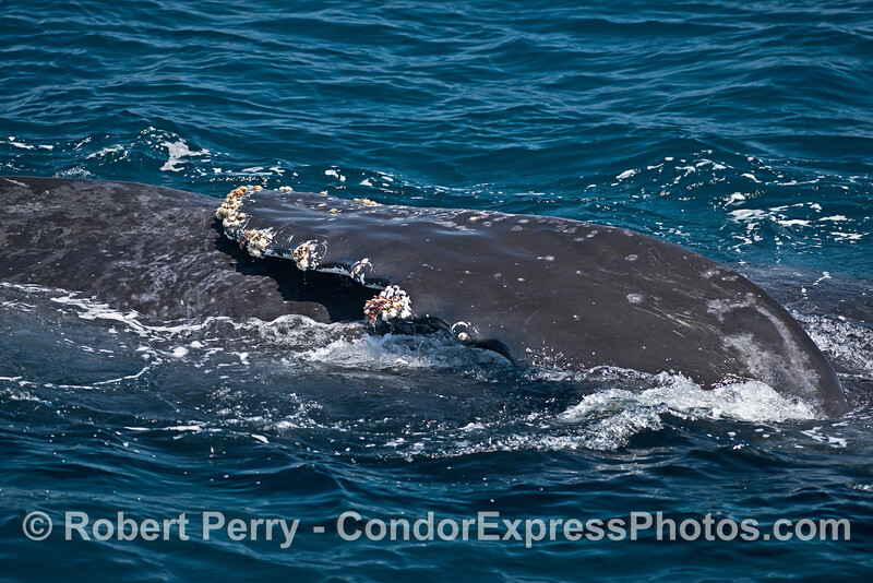 Pectoral fin on a sideways humpback whale
