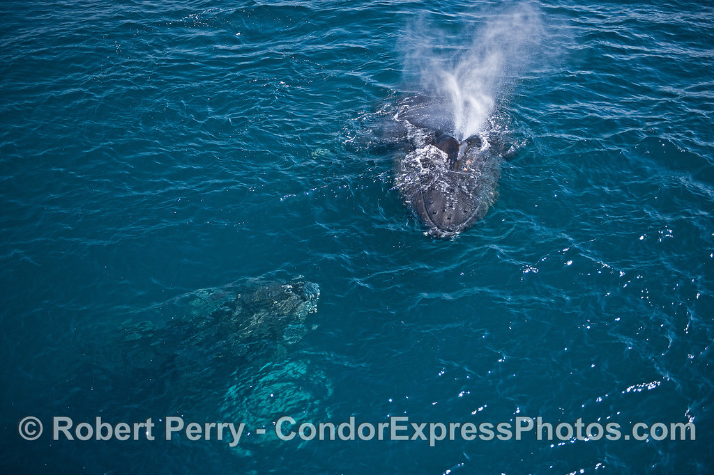 Two humpback whales approach eath other nose to nose