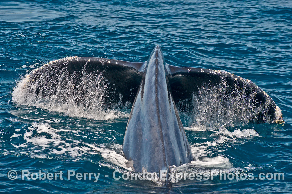 A close look under the tail flukes of a humpback whale