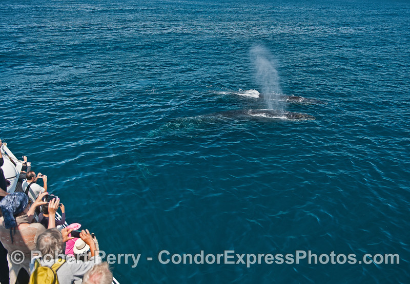 Cell phones click away as our pair of friendly humpback whales pass close to the Condor Express