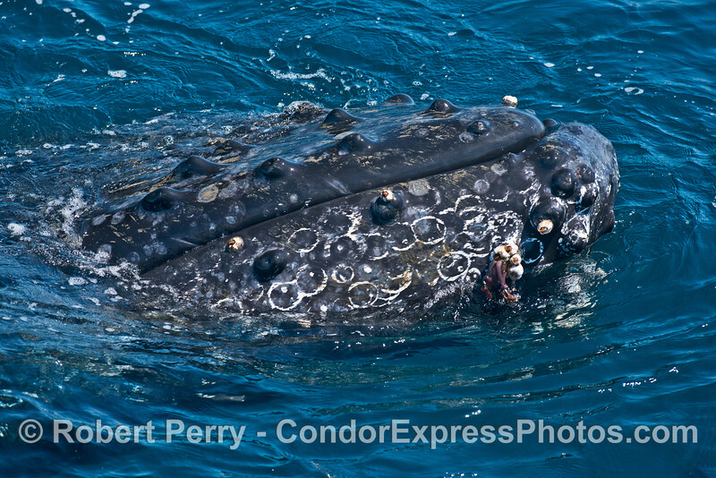 Numerous scars from detached barnacles mark the lower jaw of this friendly humpback whale