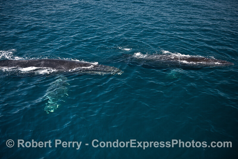 Two humpback whales in clear water.   Rope is on the right side.