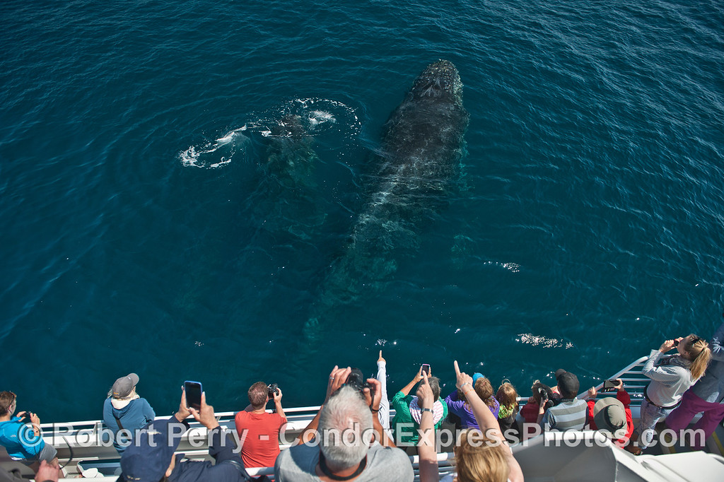 Two humpbacks come up from beneath the boat