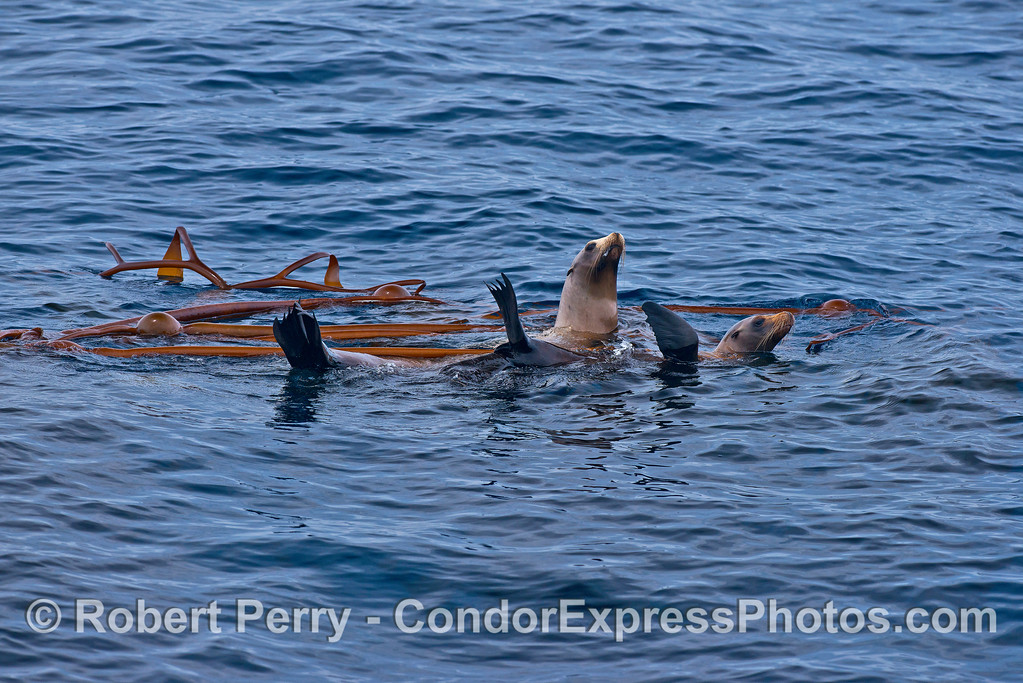 California sea lions rest in a patch of elk kelp floating in the middle of the Channel