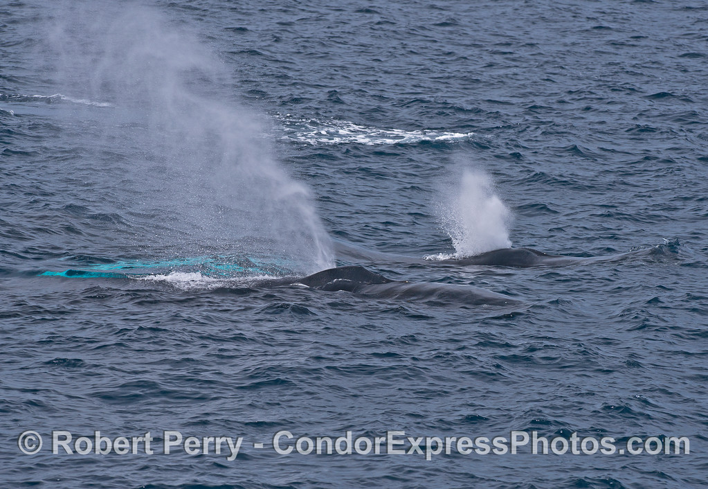 Two humpback whales spouting side by side